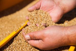 Ratari: Da nije bilo uvozne, skuplje pšenice, kruh i pekarski proizvodi ne bi poskupjeli