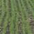 Pšenici ne smetaju trenutni vremenski uslovi - stručnjci optimistični