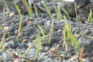 Pšenica nedovoljno razvijena - razmatra se i presejavanje