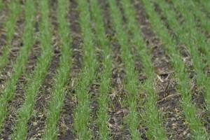 Pšenici ne smetaju trenutni vremenski uslovi - stručnjci su optimistični