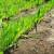 Potreba za hranivima i gnojidba strnih žitarica u jesen