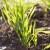 Odaberite kvalitetnu jesensku zaštitu od uskolisnih korova u ozimim žitaricama