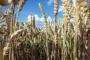 Rusija proizvela oko 86 miliona tona pšenice