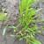 Od srede toplije vreme - uočena siva pegavost lista pšenice
