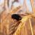 Kako očuvati uskladištene žitarice od štetnika?
