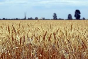 Cene pšenice u Rusiji i Ukrajini i dalje u padu
