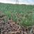 Zaštita strnih žita - praćenje i preventiva