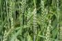 Slavonija Nova u cjelosti isplatila proizvođače pšenice