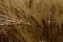 Agrotehnika pšenice u ekološkoj proizvodnji