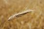 Kvalitetnu pšenicu kupujemo od Mađara!