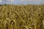 Ratari traže sigurne silose i slobodan izvoz pšenice