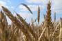 Grivičić: Pšenicu predajte u licencirane silose