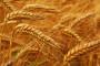 Žetva pšenice za desetak dana, cijena od 1,5 do 2 kune