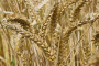 Otkupna cijena pšenice neće prelaziti 1,50 kn/kg