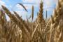 Slavonija Nova ponudila otkupnu cijenu od 1,35 kn/kg pšenice