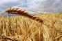 Cijena pšenice u godinu dana pala za 30 posto