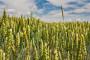 Raste cijena pšenice
