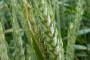 Imati ćemo višak pšenice, ali upitan izvoz