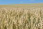 Napetost zbog otkupne cijene pšenice, prijave pljušte