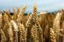 Izvozne carine na pšenicu, kukuruz i šećernu repu