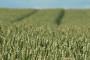 Svjetsko tržište pšenice u kolovozu 2012.