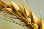 Herbaflex herbicid za suzbijanje korova u žitaricama