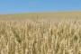 Predstoji prihrana pšenice i ječma