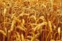 Osnovna gnojidba pšenice