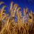 Žuta hrđa opet prijeti pšenoraži, smeđa pjegavost pšenici
