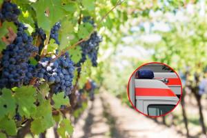 Masovno trovanje: U berbi grožđa 22 osobe se otrovale pečenjem iz Stoca
