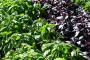 Bosiljak - ljekovita biljka kraljevskog mirisa