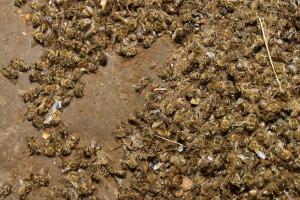 Dobili laboratorijski nalaz, ali i dalje ne znaju zbog čega je uginulo 60 milijuna pčela