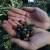 U Istri će neki i preskočiti berbu? Desetkovan urod u maslinicima od Savudrije do Prevlake
