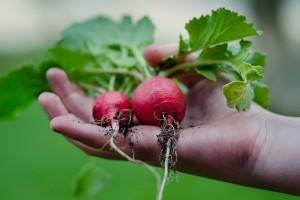 Povrće koje se lako uzgaja i brzo dospijeva za berbu