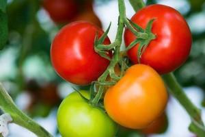 Okrenuli se hidroponskoj proizvodnji, OPG Filakov ove godine očekuje 500 tona rajčice