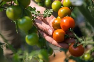 Tko su dobri, a tko loši susjedi rajčici?
