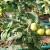 Kroz 5 faza prihrane rajčice do zdravih i otpornih biljaka!