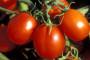 Zaštita rajčice od bolesti i štetnika