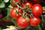Sličnosti i razlike ekološke i biodinamičke poljoprivredne proizvodnje