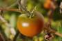 Novi gastronomski hit: Vino od rajčica