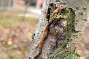 Sprečite rak kore jabuka treiranjem bakrom i krečom