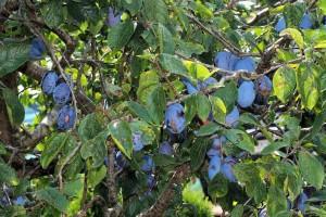 Rak korijena na sadnicama voća