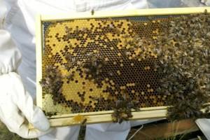 Nova tehnologija zaštite: Prah se nalazi u košnici, a pčele ga raznose na biljke