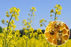 Uljana repica - važan usev za pčelinju pašu