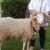 17. izložba rapske ovce: predstavit će se devet kolekcija rapske ovce
