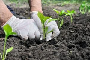 Šta posejati posle zelene salate, krompira ili graška u letnjoj setvi?