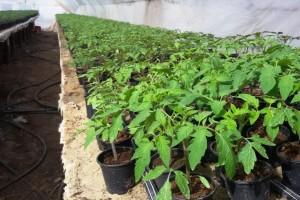 Prevencija od štetočina pre pripreme rasada paradajza - opasnost od tute