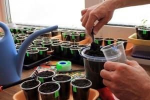 Počnite sa pripremom biljaka rasada za sadnju na stalno mjesto