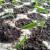 Suzbijte štetočine rasada belim lukom, šibicama i korom pomorandže