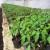 Obavezna preventiva prije pripreme rasada paradajza - opasnost od tute